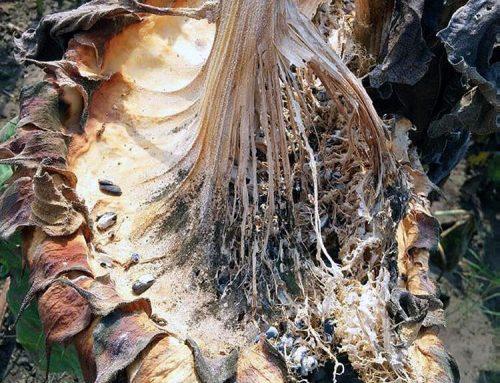 Egészséges termőtalajok – patogén gombagátlás baktériumokkal